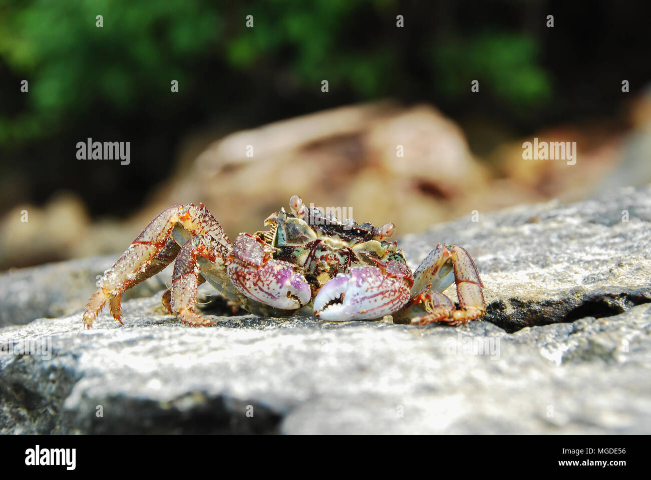 Colorful Crab decapods, yellow red legs and blue green strip carapace or crabshell, sea crab in south coast of Thailand - Stock Image