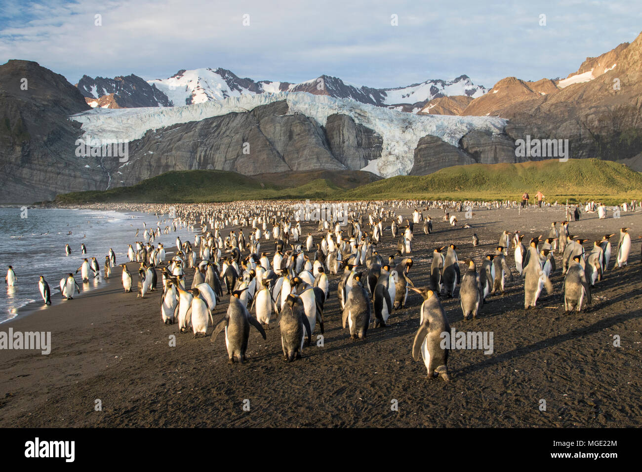 king penguin Aptenodytes patagonicus view of adults and chicks in dense breeding colony, Gold Harbour, South Georgia - Stock Image