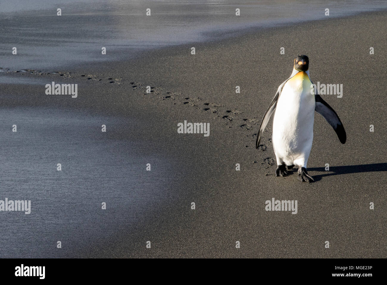 king penguin Aptenodytes patagonicus adult walking from sea to nest shwoing footprints in sand, Gold Harbour, South Georgia - Stock Image