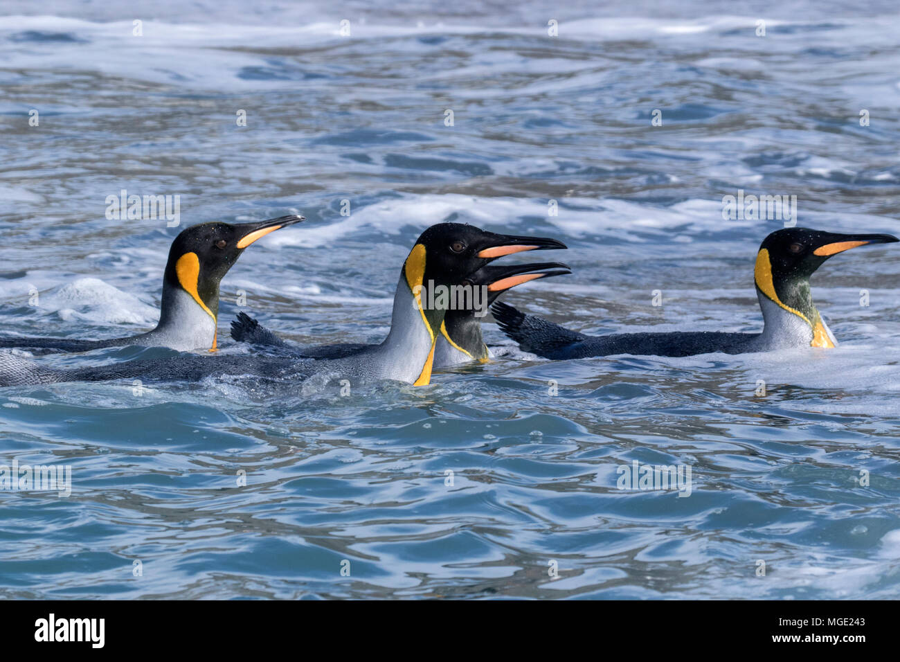 king penguin Aptenodytes patagonicus group of adults swimming offshore from breeding colony Gold Harbour, South Georgia - Stock Image
