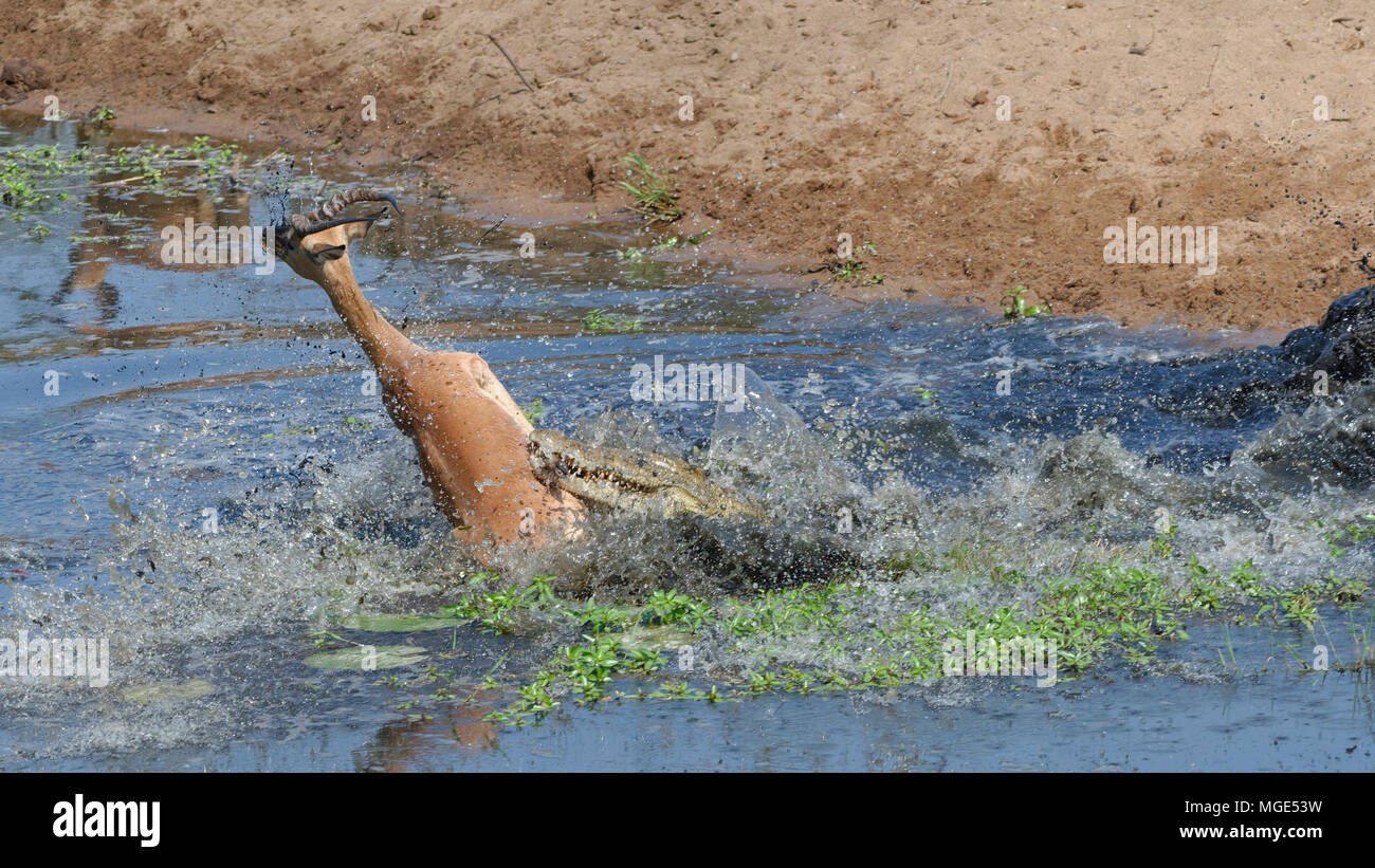 Nile crocodile (Crocodylus niloticus) attacking by surprise a male impala drinking water, fatal attack, Kruger National Park, South Africa, Africa - Stock Image