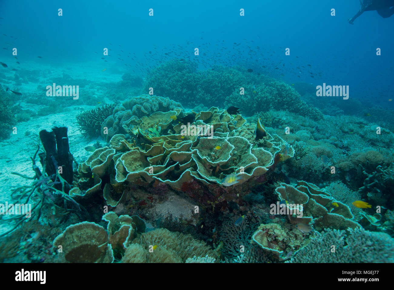 Beautiful soft and hard corals. Picture was taken in the Ceram sea, Raja Ampat, West Papua, Indonesia Stock Photo