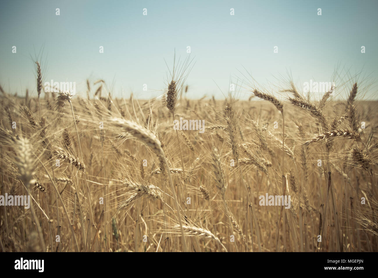 Close up of a golden wheat field. Blurred background. - Stock Image
