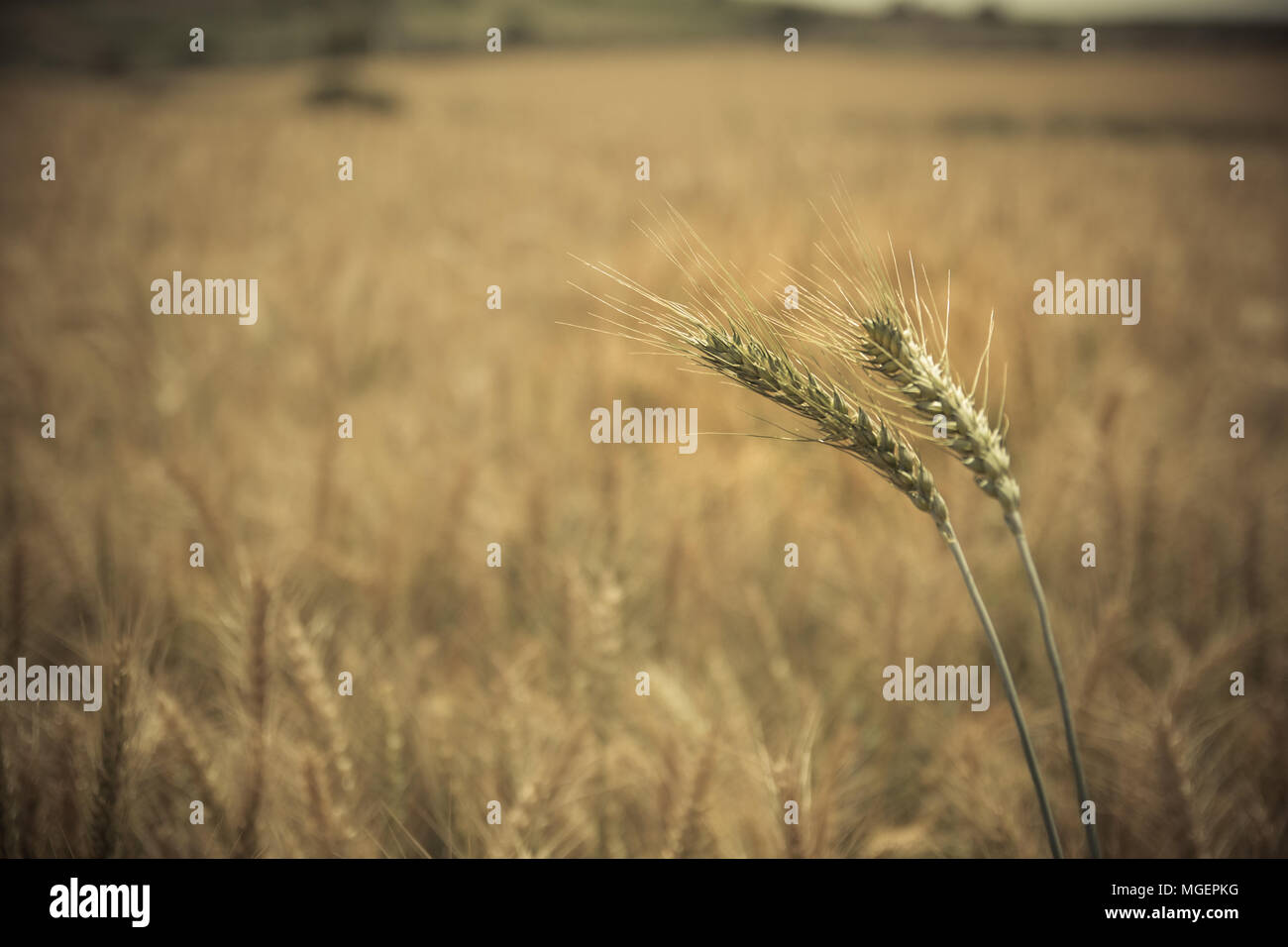 Close up of green-yellow wheat crop. Blurred background. - Stock Image