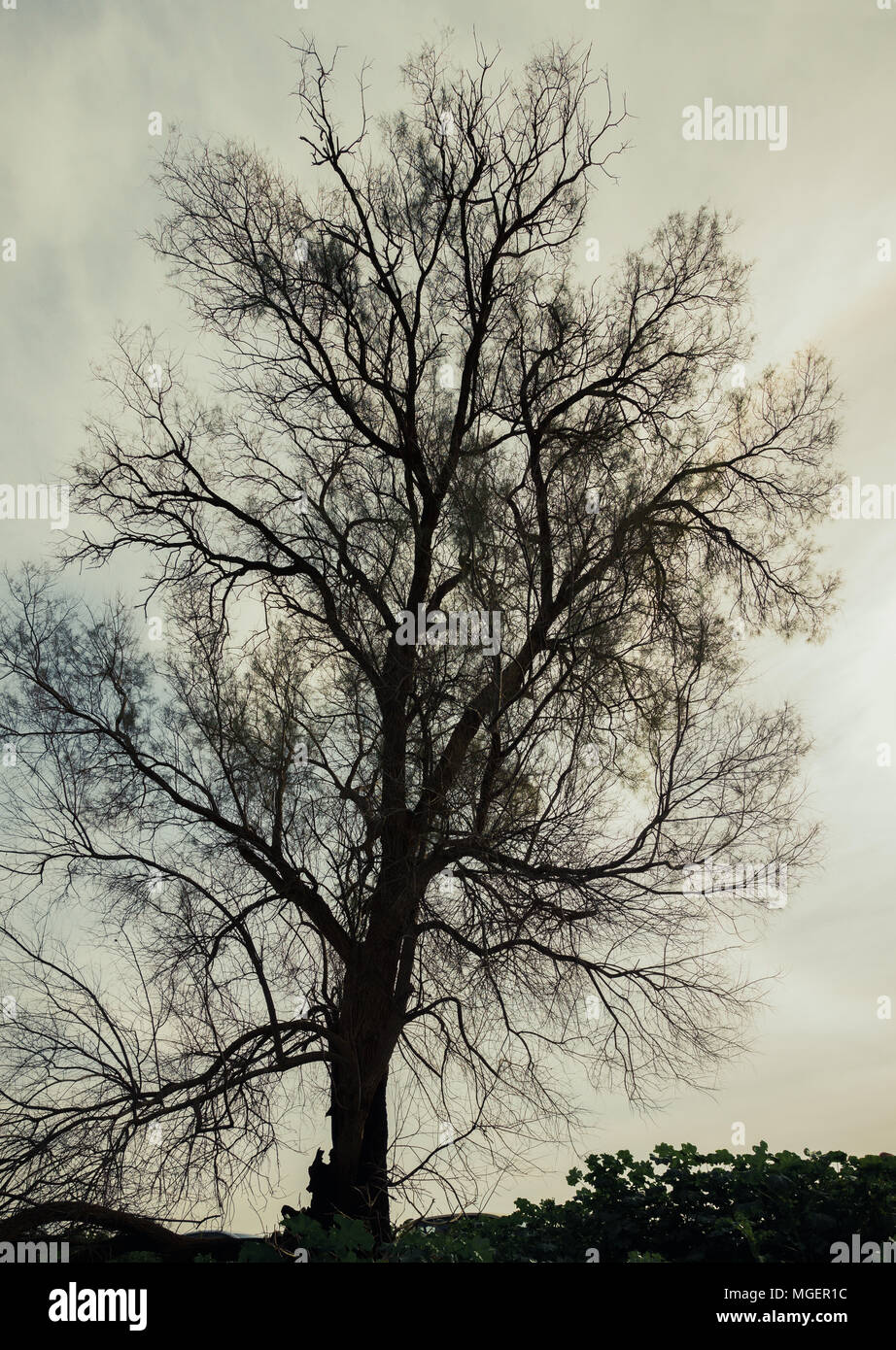 Silhouette of bare tree - Stock Image