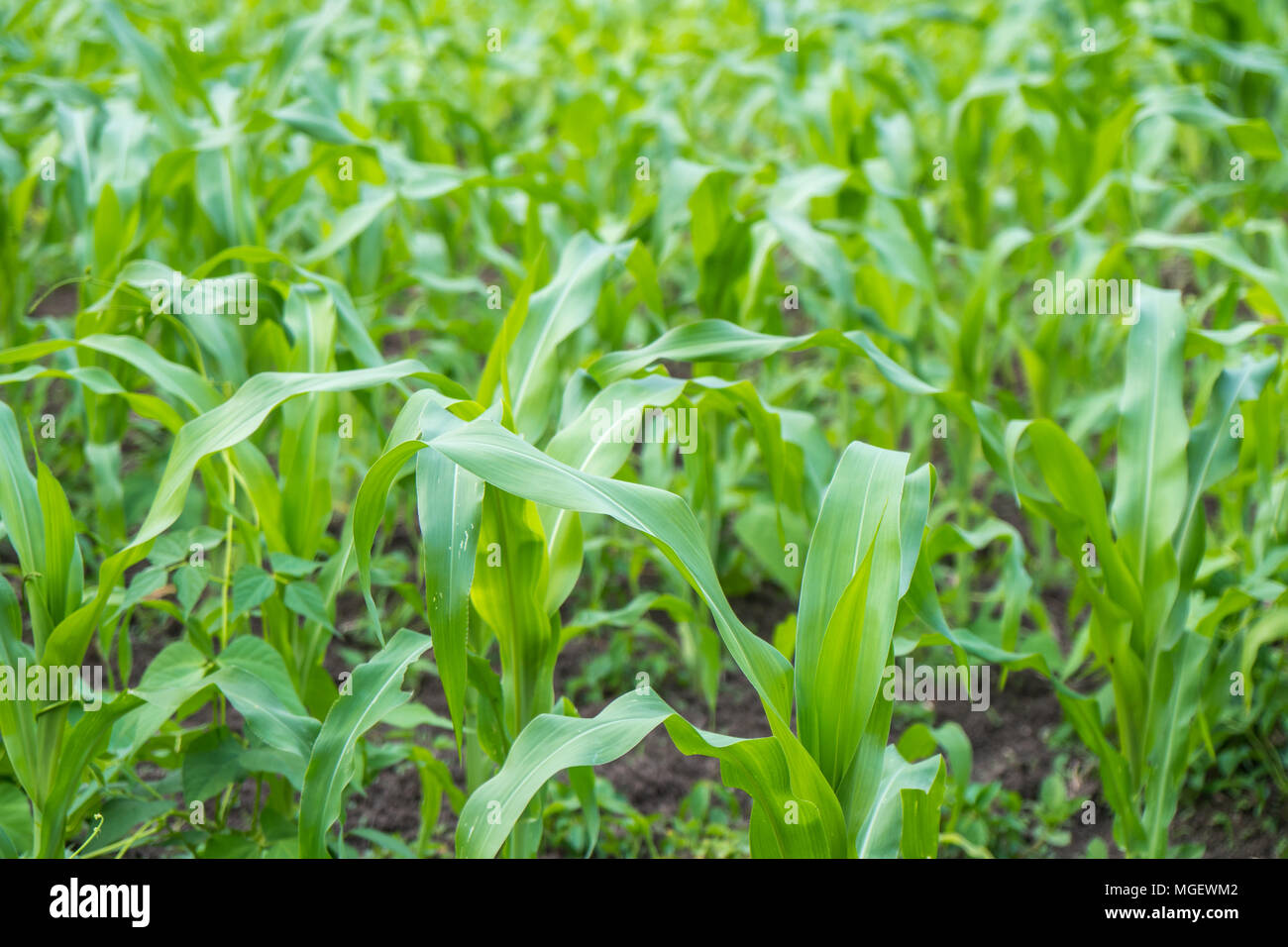 Small corn field agriculture. Green nature. Rural farm land in summer. - Stock Image