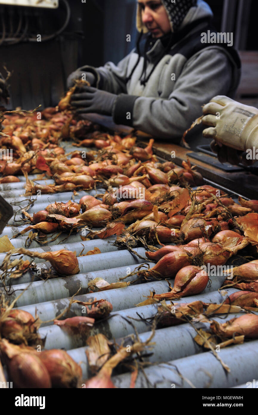 Workers sort and prepare organic shallots for sale at the processing facilities of Charles Ascoet, one of the producers in the Finisterre area. - Stock Image