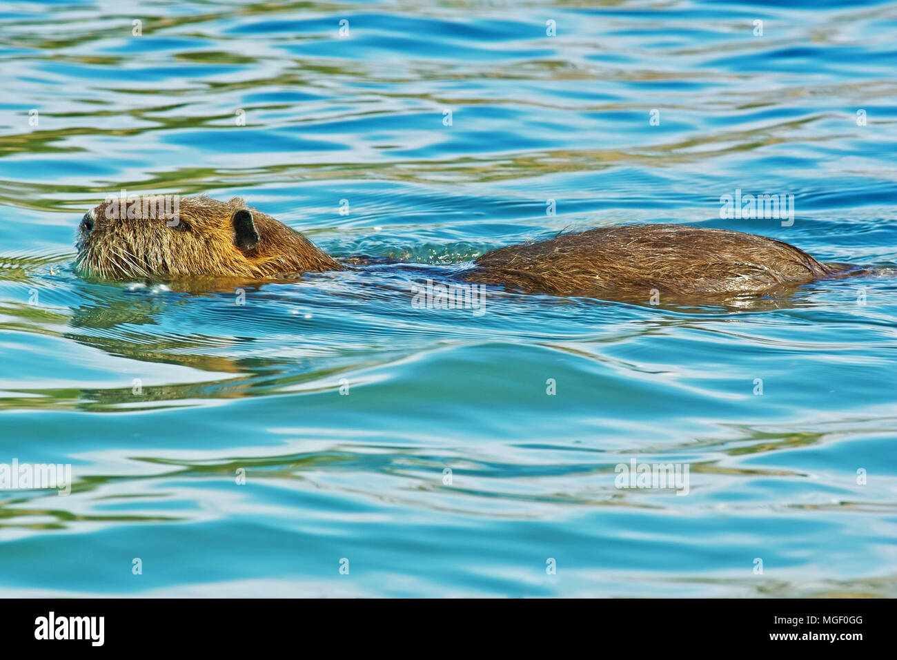 specimen of coypu while is swimming in a river - Stock Image