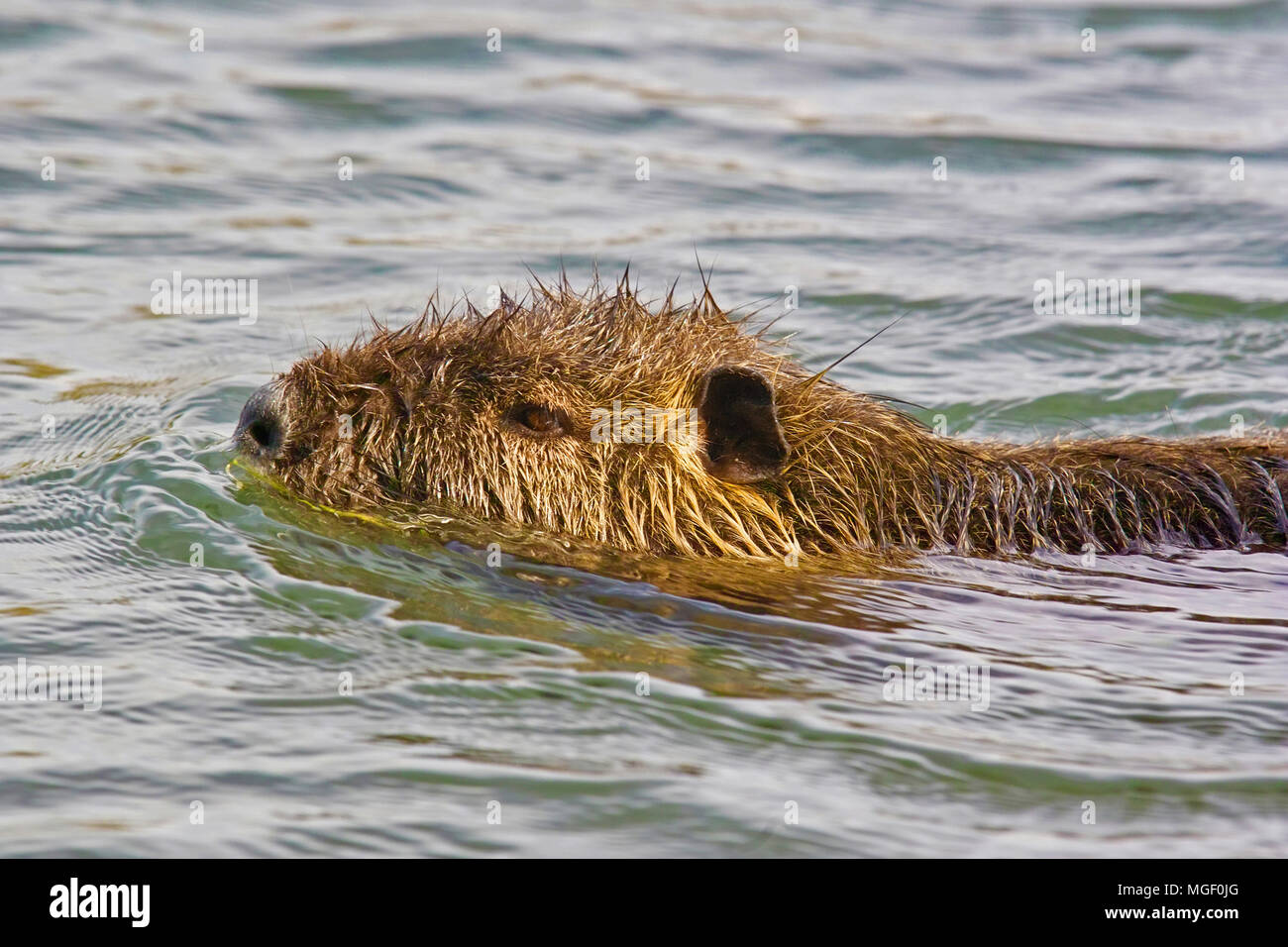 close-up of a coypu while is swimming in a river - Stock Image