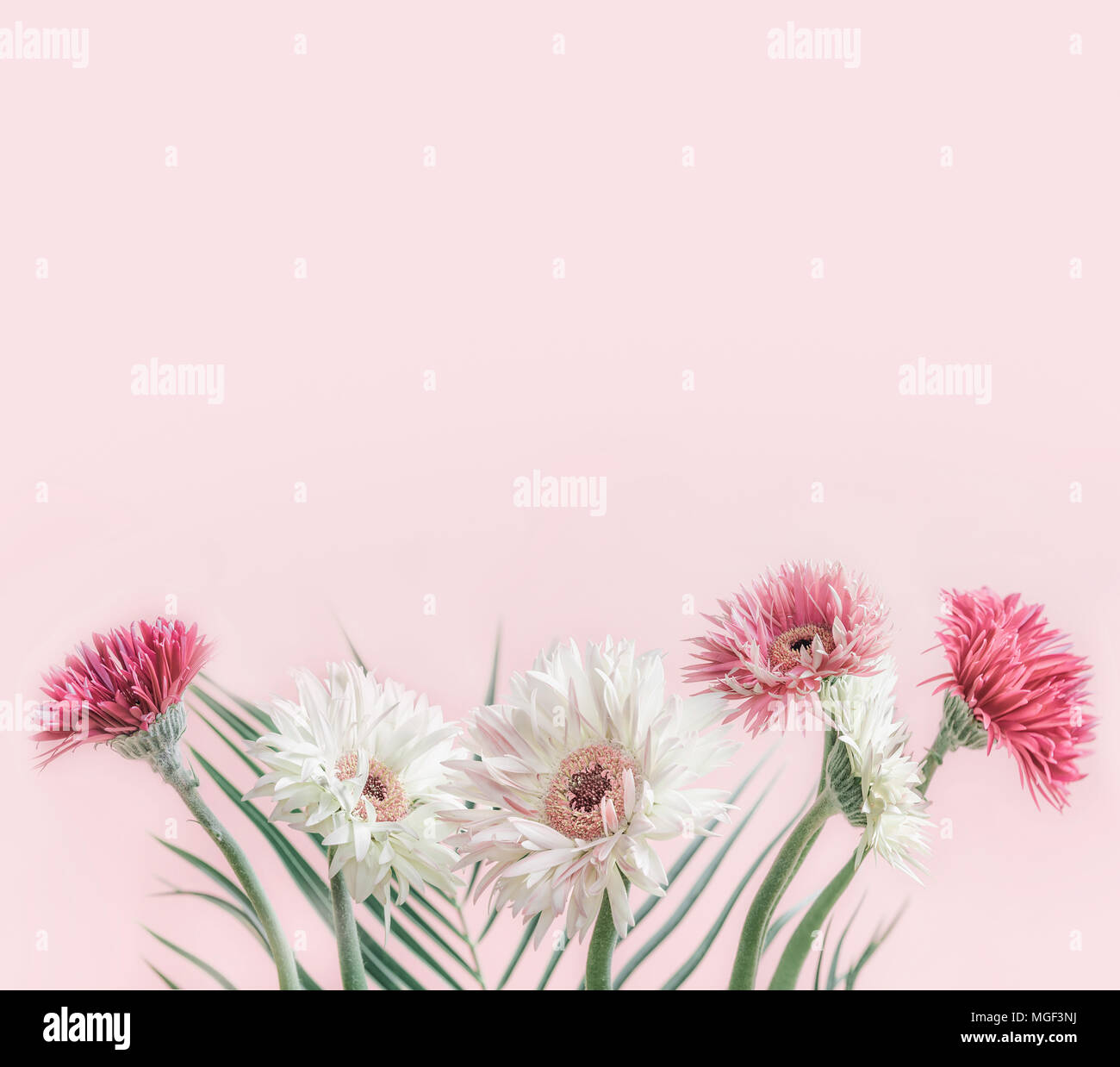 Beautiful Flowers Bunch Of Gerbera At Pastel Pink Background Front