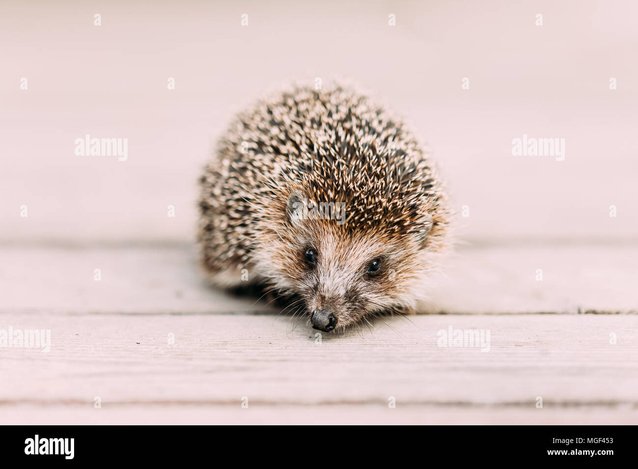 Small Funny Hedgehog Standing On Wooden Floor. European Hedgehog Or Erinaceus Europaeus, Also Known As The West European Hedgehog - Stock Image