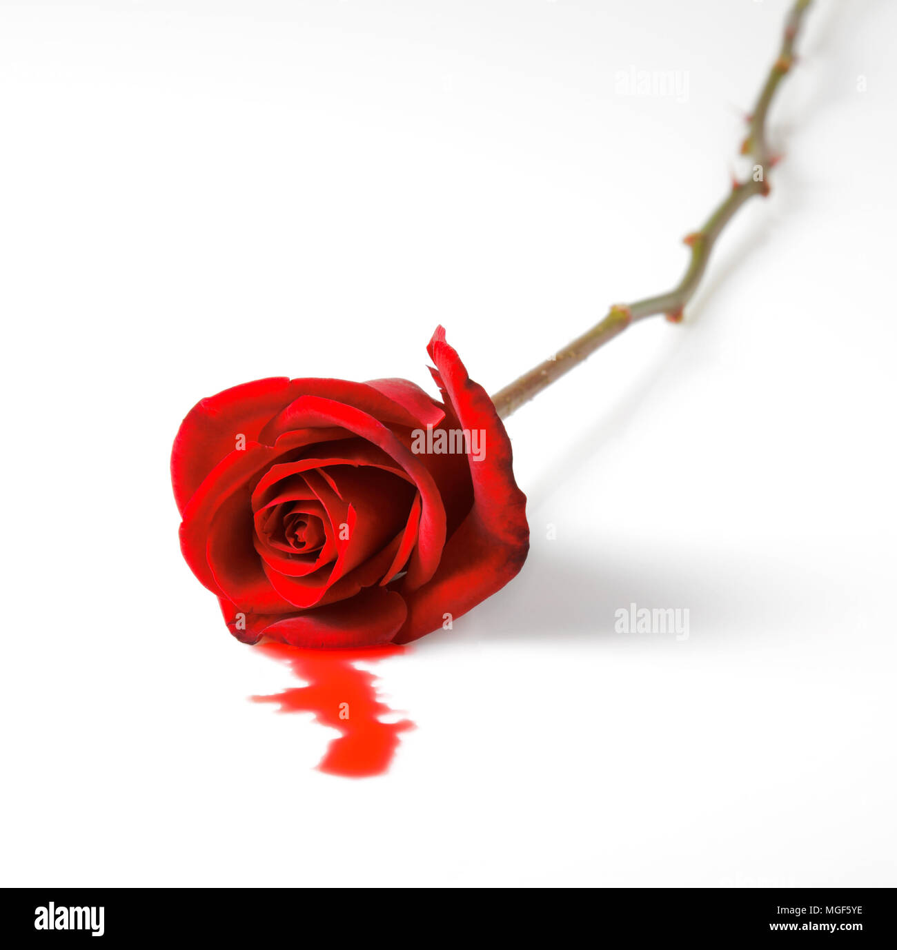 Bleeding red rose on white background. Concept of breakup, divorce and murder. Stock Photo