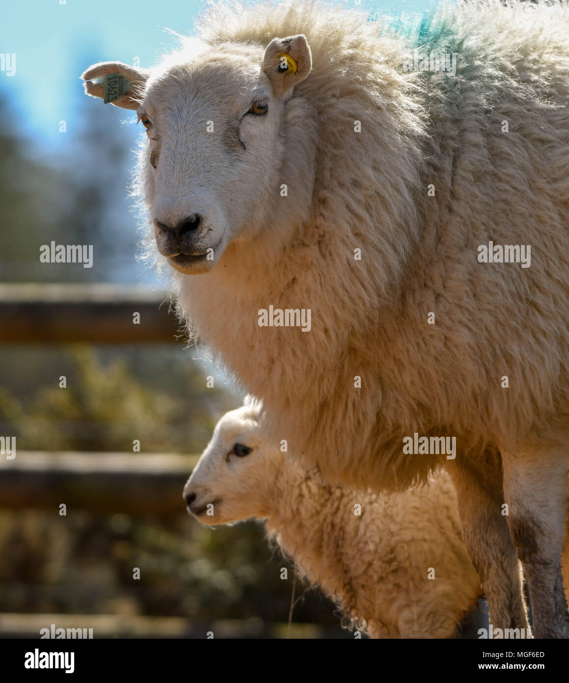 Ewe with its lamb in the background - Stock Image