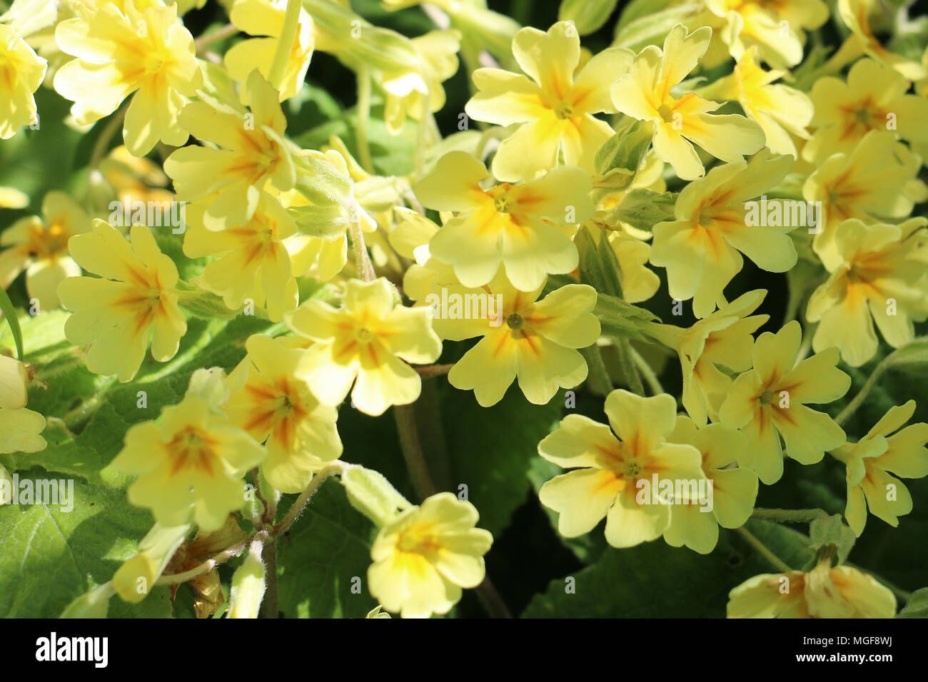 Bright Yellow Primrose Flowers Primula Vulgaris Blooming In The