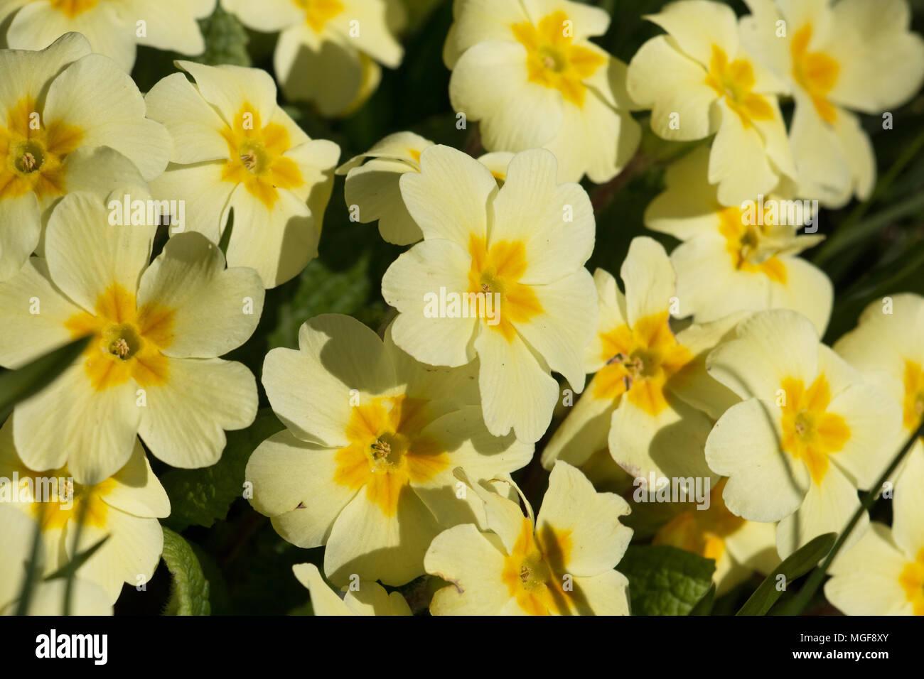 Cluster Of Yellow Primrose Flowers Primula Vulgaris Blooming In