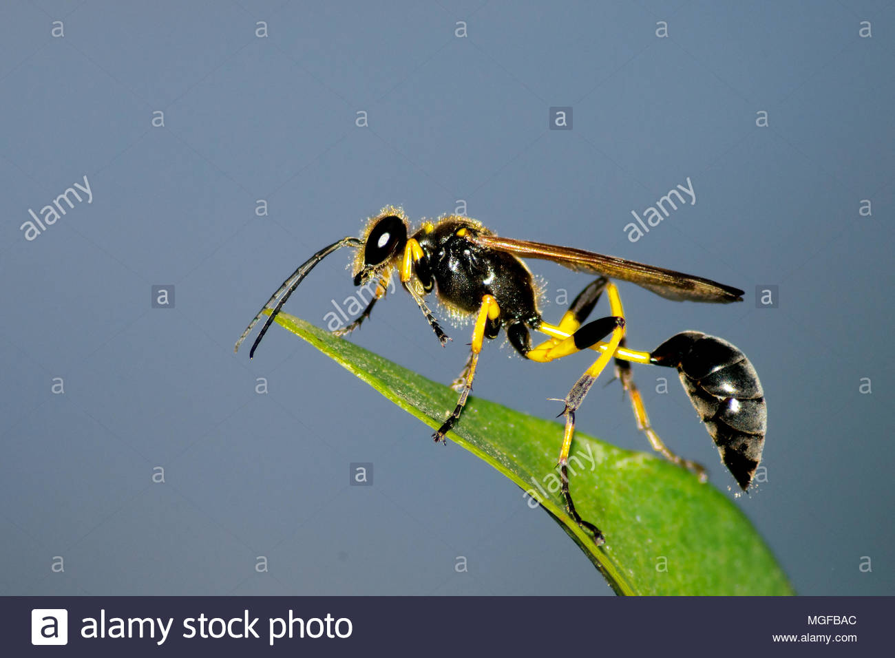 Close up shot of sphecidae with black and yellow vibrant colors. - Stock Image