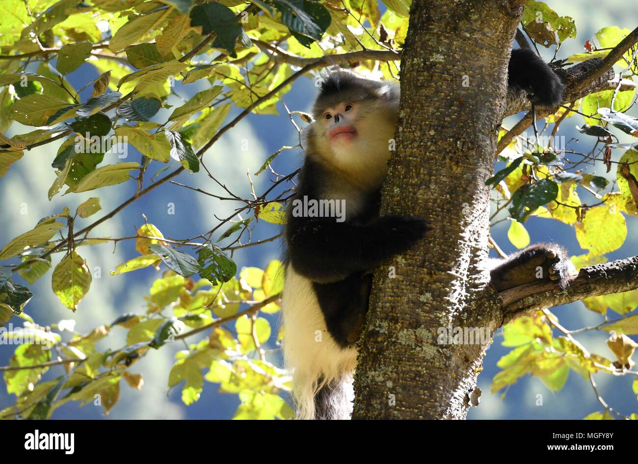 Kunming. 3rd Nov, 2017. File photo taken on Nov. 3, 2017 shows a black snub-nosed monkey, also known as the Yunnan golden monkey, climbing a tree in the Yunnan golden monkey national park in Tibetan Autonomous Prefecture of Deqen, southwest China's Yunnan Province. To keep Yangtze River clean and beautiful, efforts to restore ecological environment have been taken in the upper reaches of Yangtze River in Yunnan Province in recent years. Credit: Lin Yiguang/Xinhua/Alamy Live News - Stock Image