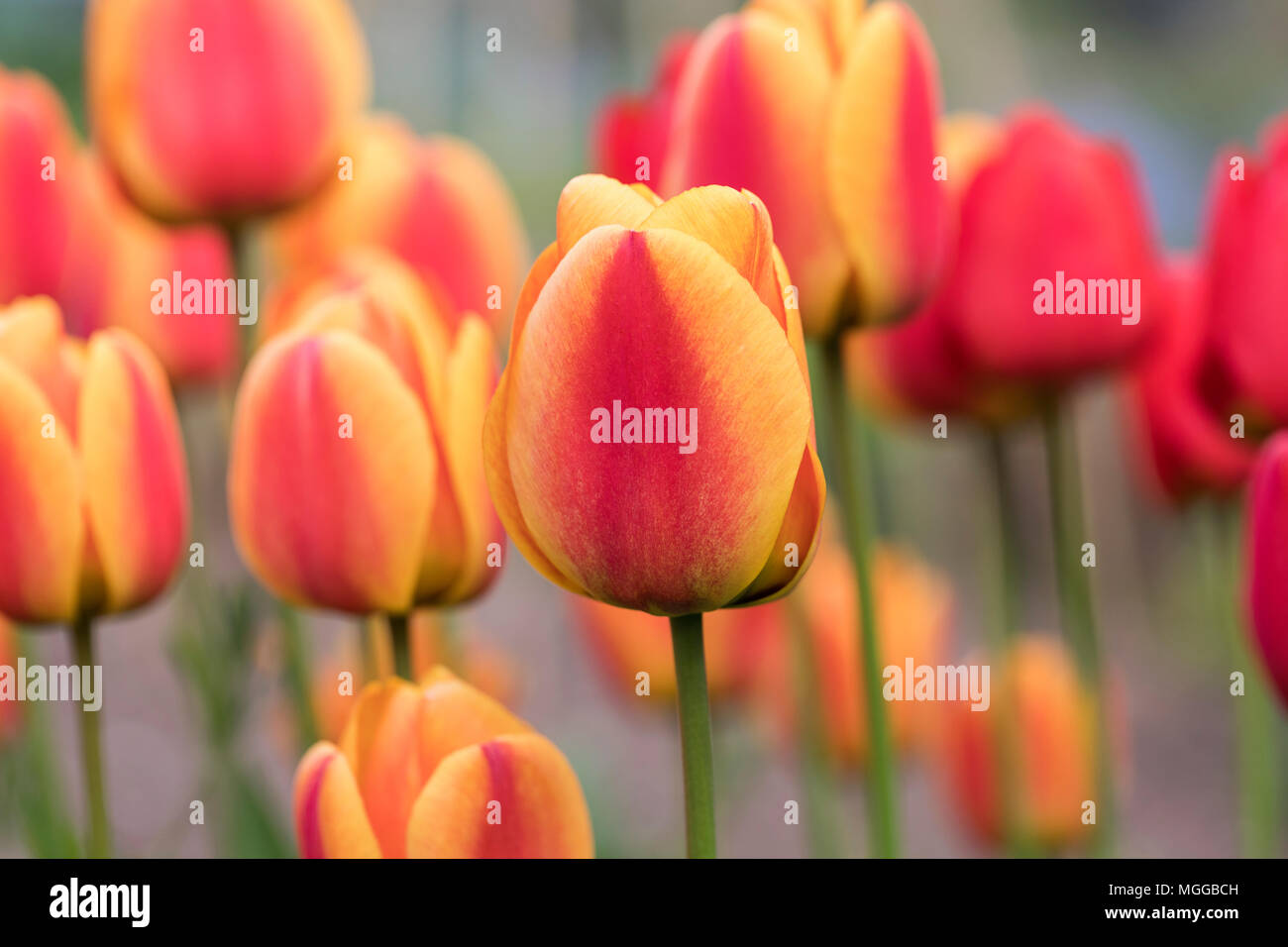 Close up of bright orange and red tulips flowering in a spring garden border in the UK Stock Photo