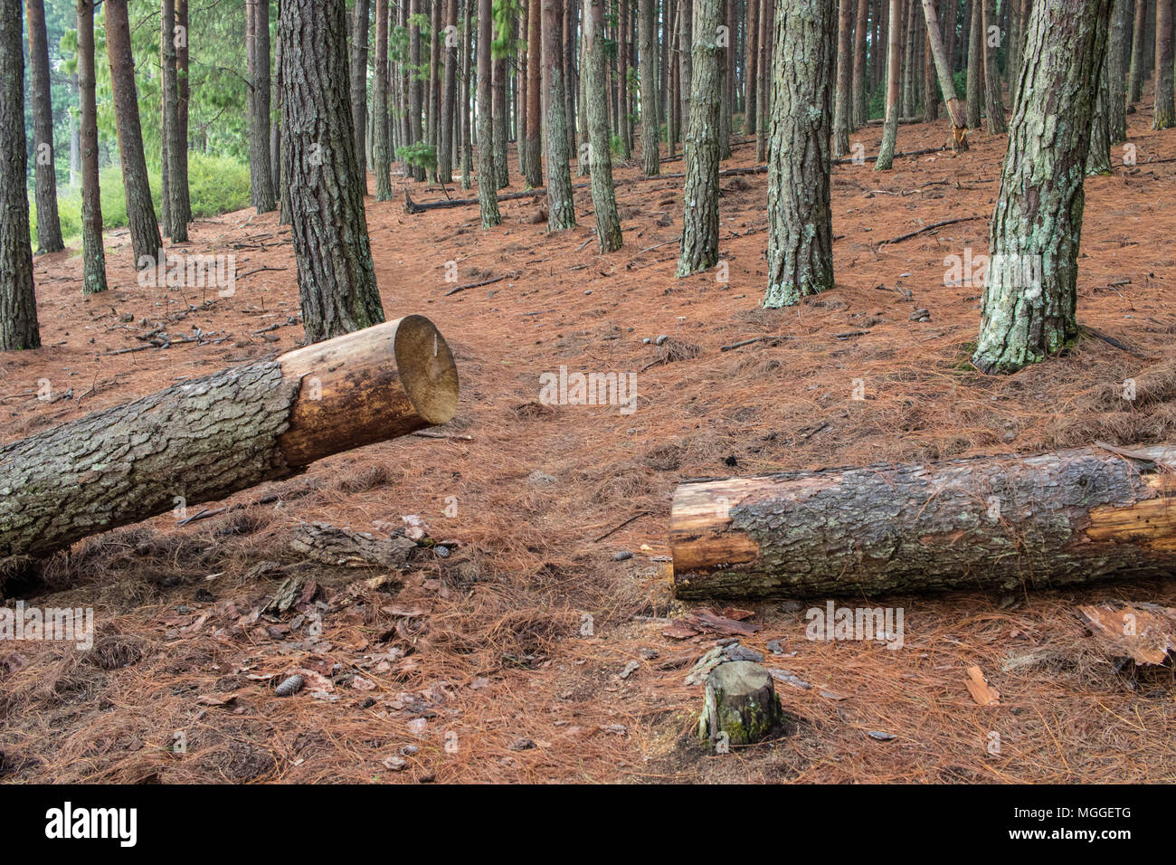 Large pine tree cut down mechanically in a forest image with copy space in landscape format - Stock Image