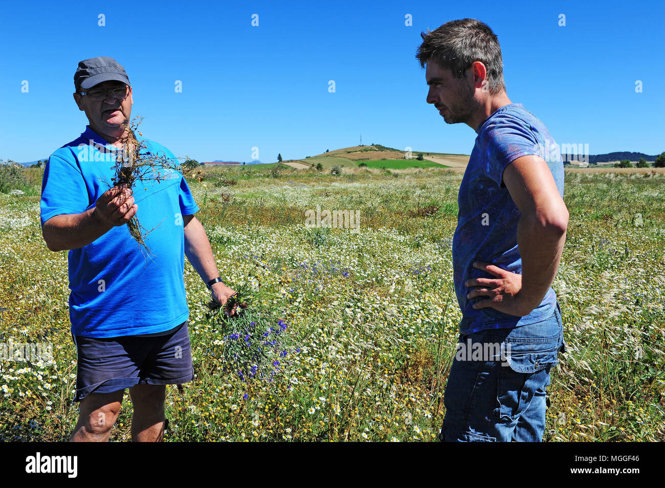 Farmers inspect a soon-to-be-harvested field of lentils nearby Landos, in the Le Puy region. - Stock Image