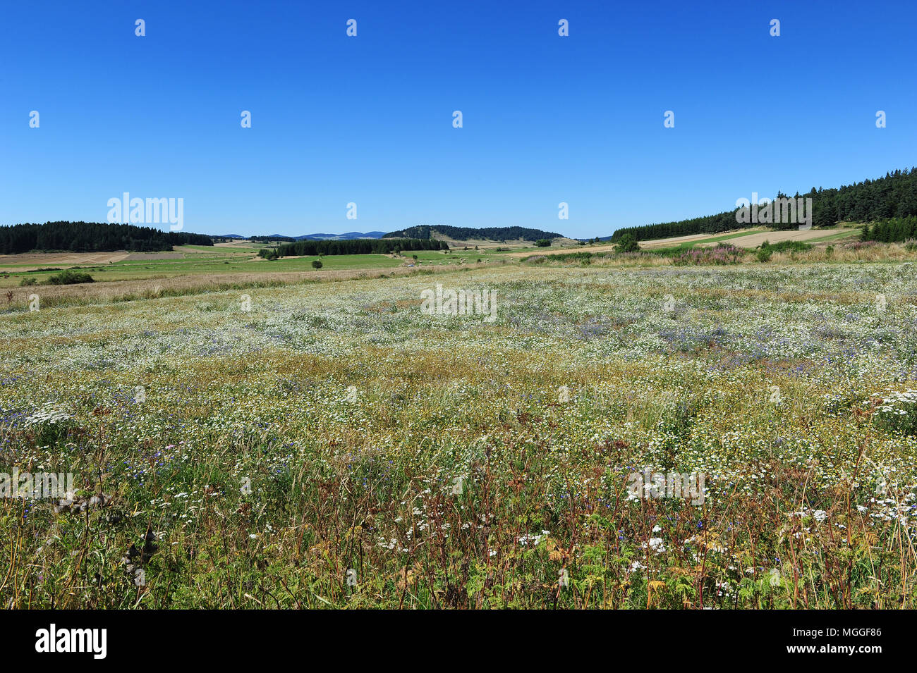 France, Haute-Loire - A soon-to-be-harvested lentil field in the French region of Le Puy. Stock Photo