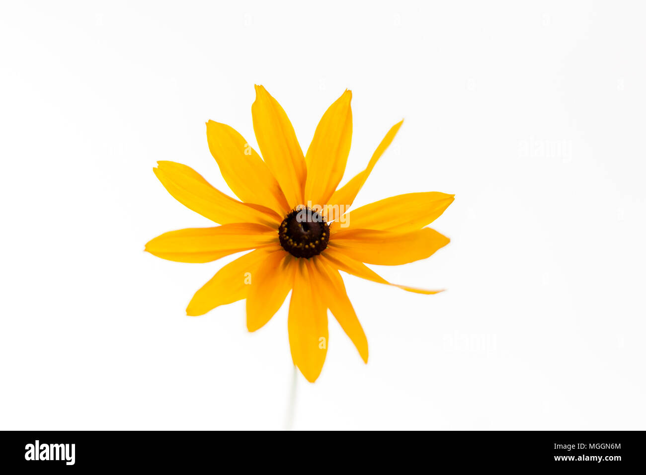 Yellow gentle daisy flower on the white background. Stock Photo