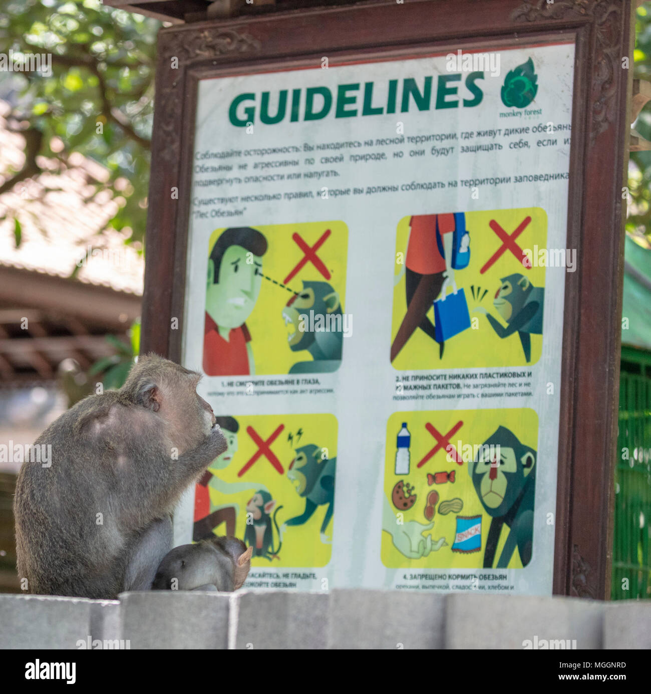 Monkey appearing to read guidelines to tourists about interactions with animals, Ubud, Bali, Indonesia - Stock Image