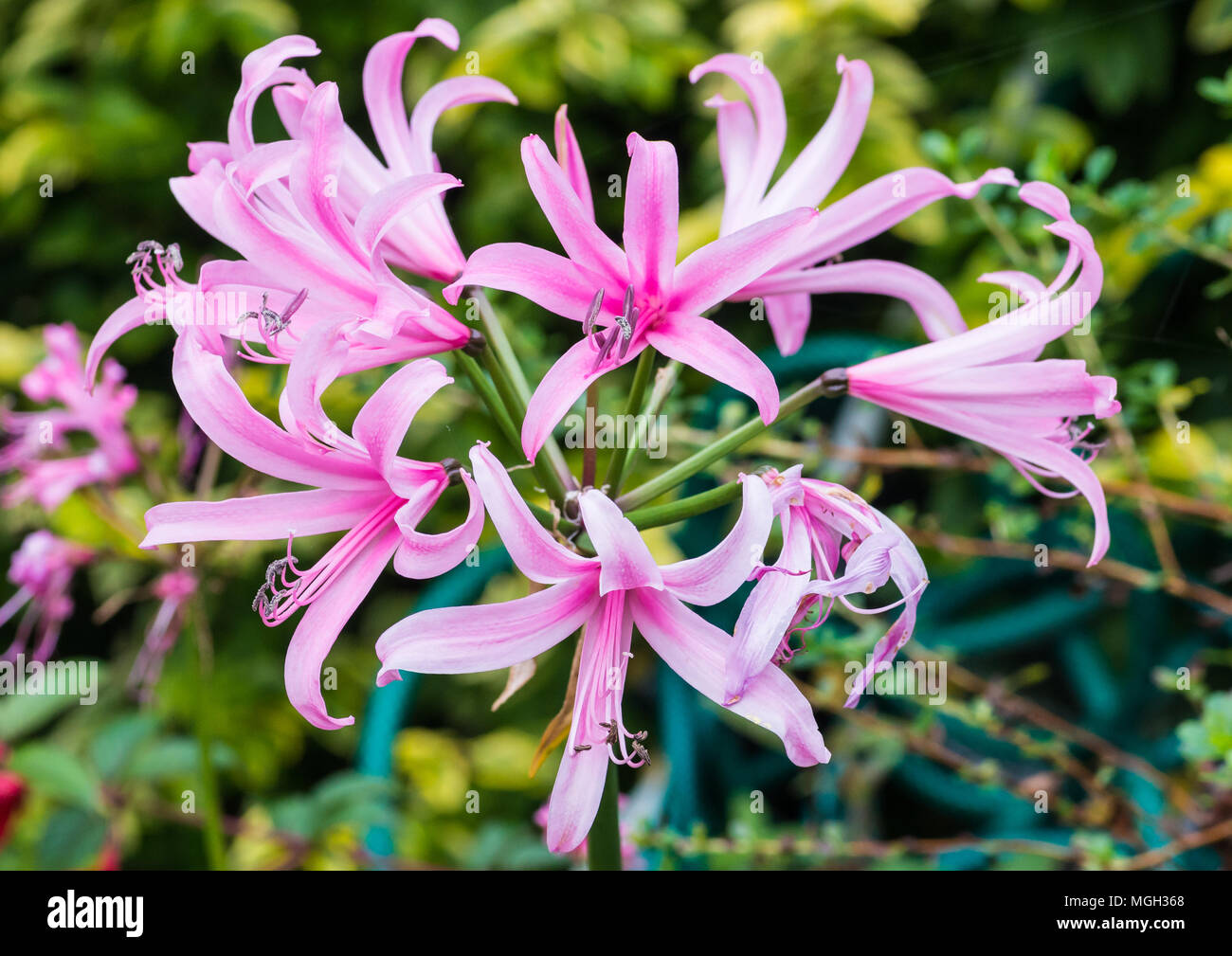 A macro shot of the pink blooms of a nerine bowdenii plant. - Stock Image