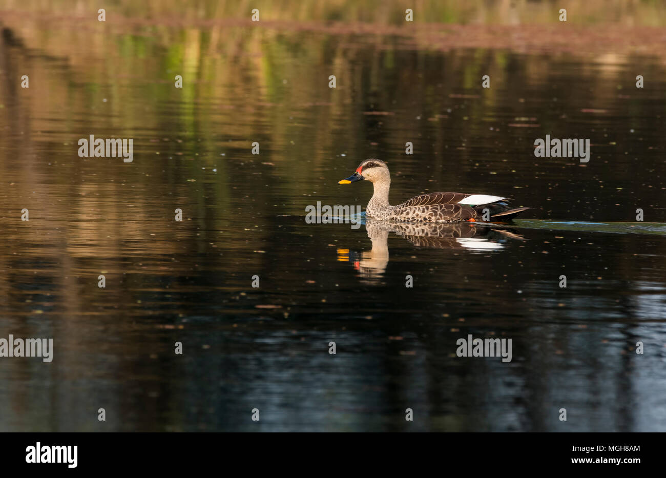 Spot billed ducks are local migrant and visit bharatpur bird sanctuary during winter season Stock Photo