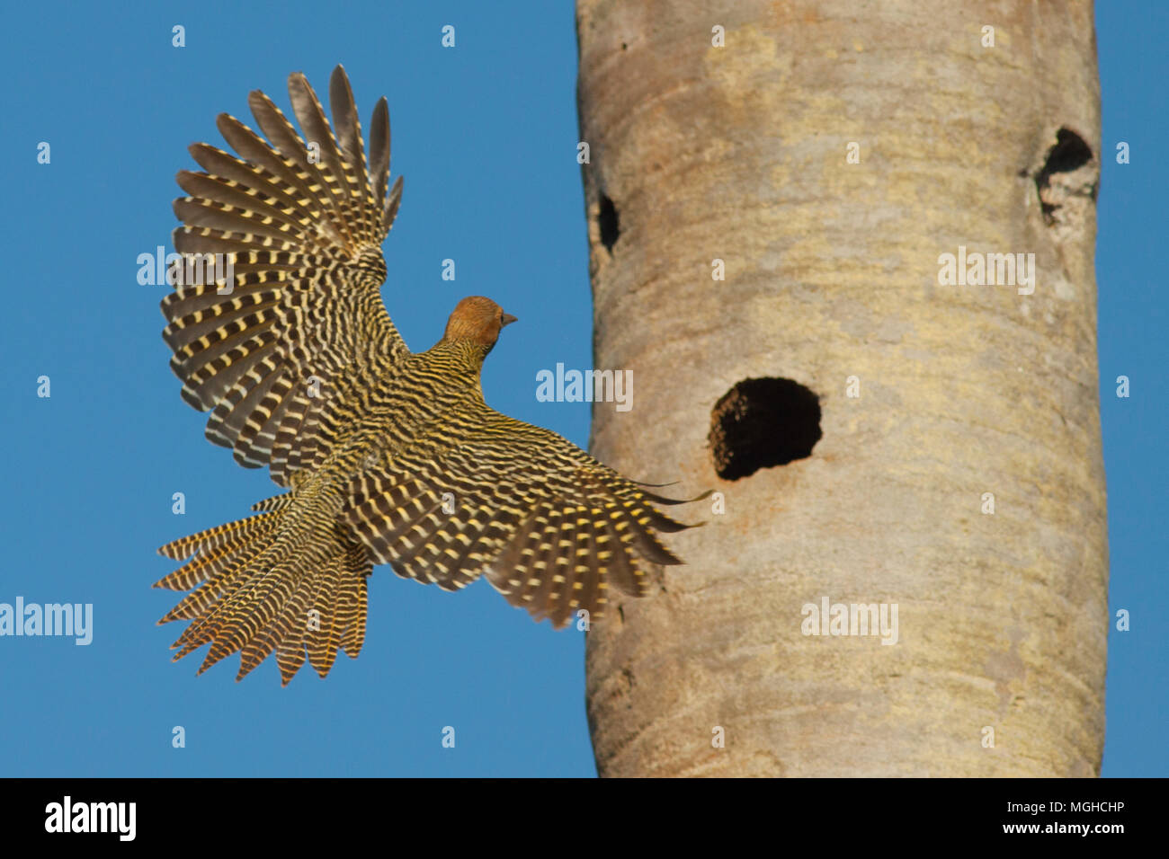 Fernandina's Flicker (Colaptes fernandinae), Endemic, Nesting in fan palm savannah Vulnerable, Zapata Peninsula, CUBA - Stock Image