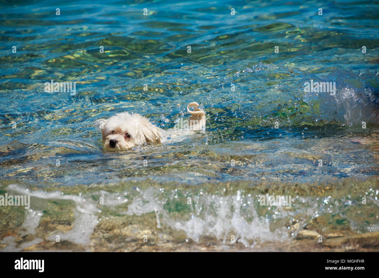 small white dog swimming in the sea. concept about animals and nature, summer sunny weather - Stock Image