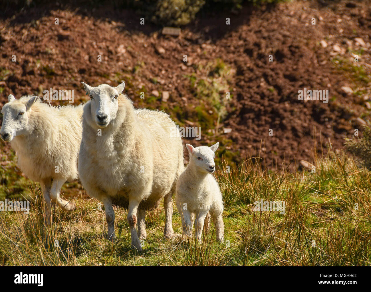Lamb with its mother and another ewe - Stock Image