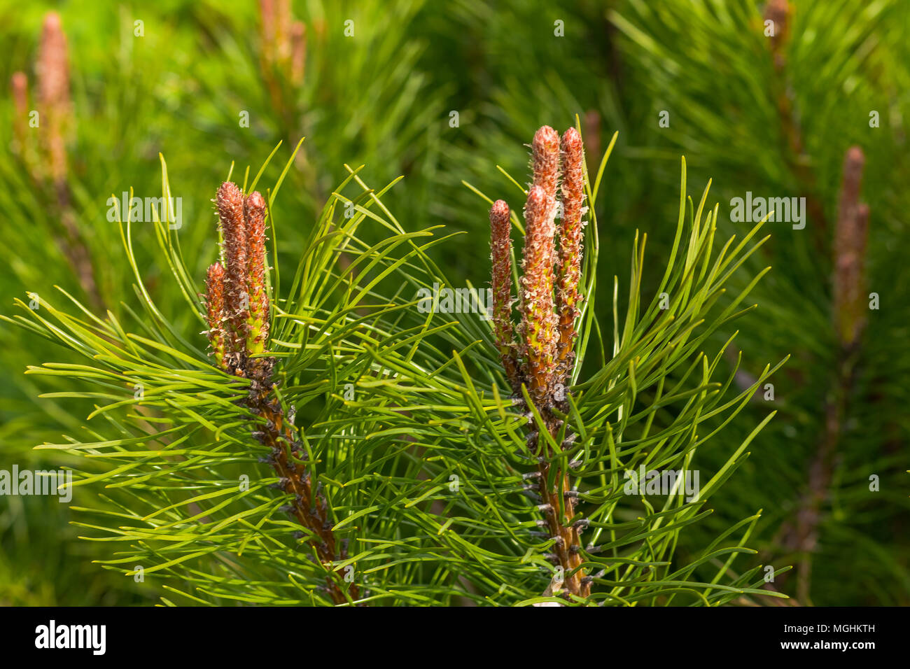 The branches of cedar. Background of the branches of Siberian cedar.New cones on the pine. Close up nature.Young pine branch in spring - Stock Image