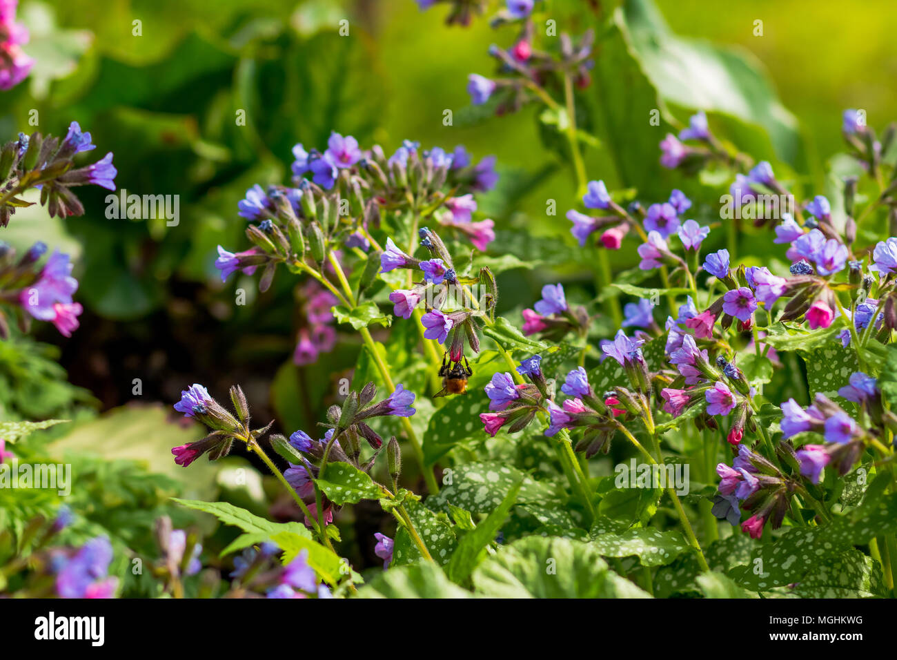 Colorful spring forest flowers and blue flowers unspotted colorful spring forest flowers and blue flowers unspotted lungwort or suffolk lungwort pulmonaria obskura in the early spring izmirmasajfo