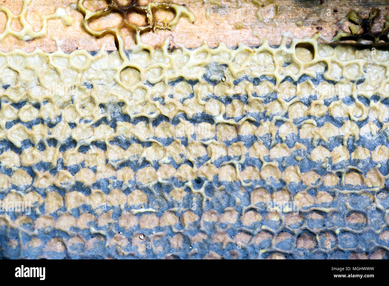 Closeup macro of yellow bee honeycomb in a hexagon pattern with sealed golden sweet honey compartments of the hive interior found wild in nature Stock Photo