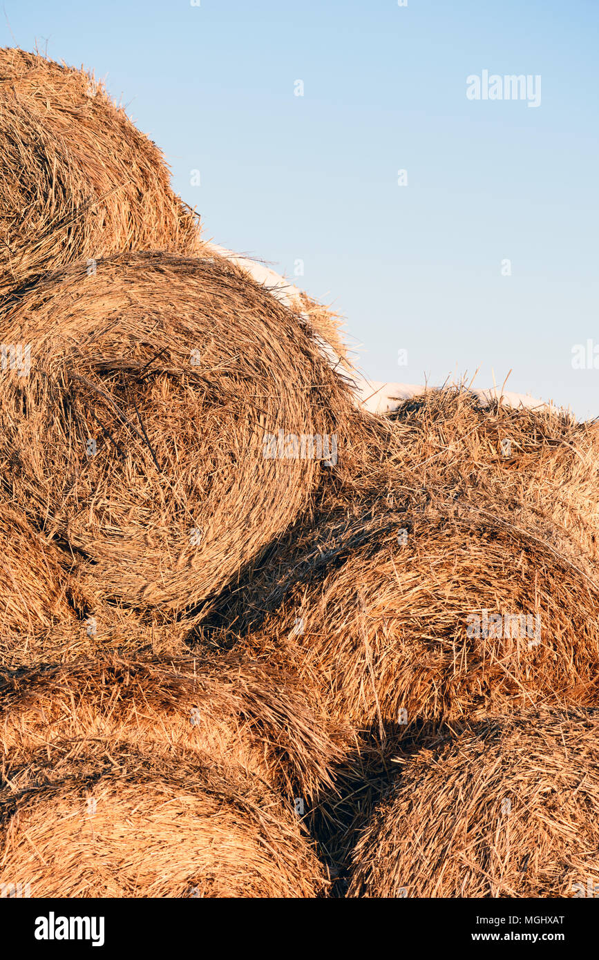Round straw hale bays used as fodder and bedding for horses and cows stacked in rows in winter with blue-sky background and copy space area for farmin Stock Photo