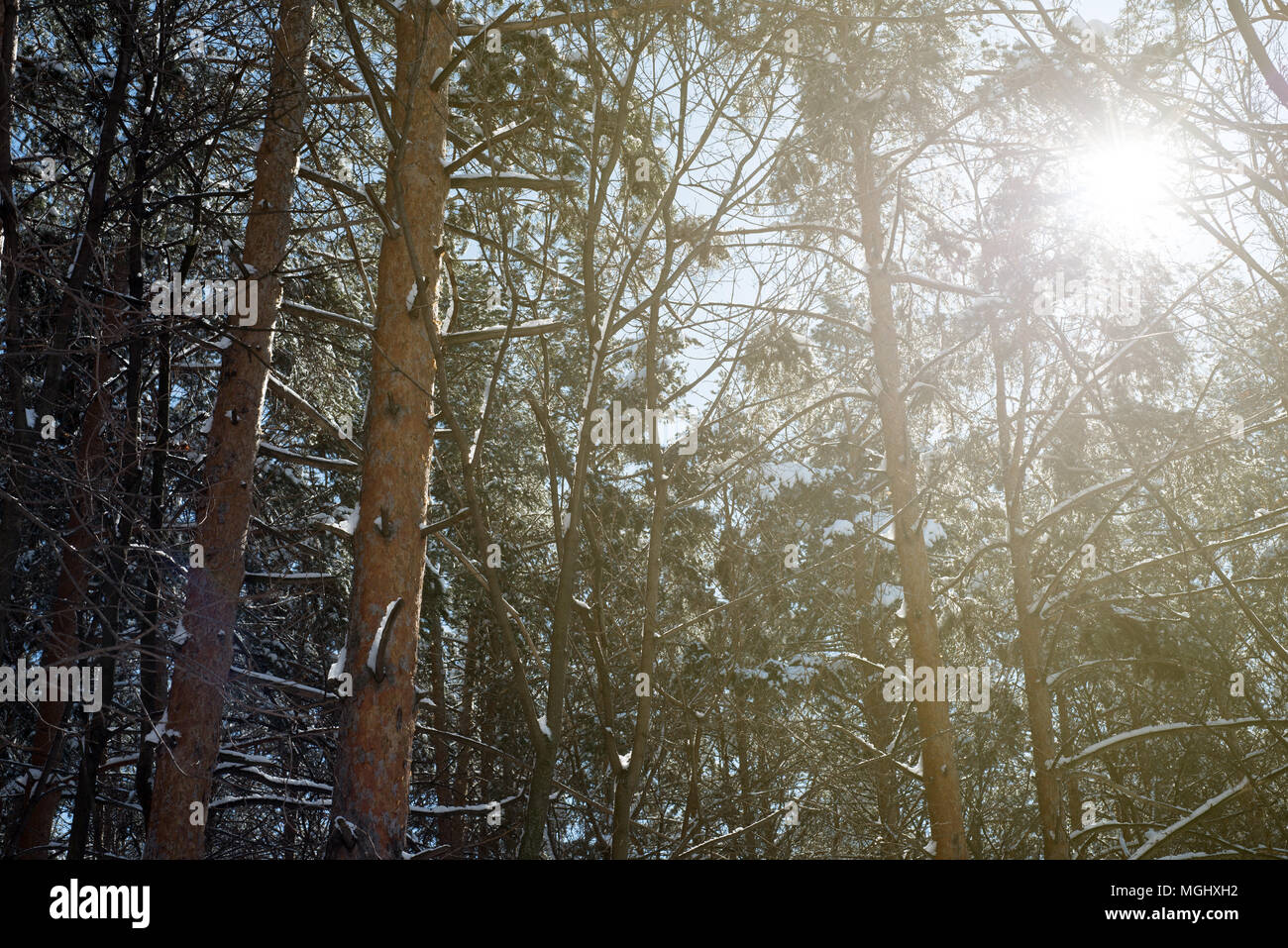 Warm golden sunshine shines through the branches of pine and fir forest trees in the midst of a icy cold winter with fresh snowfall covering the trunk Stock Photo