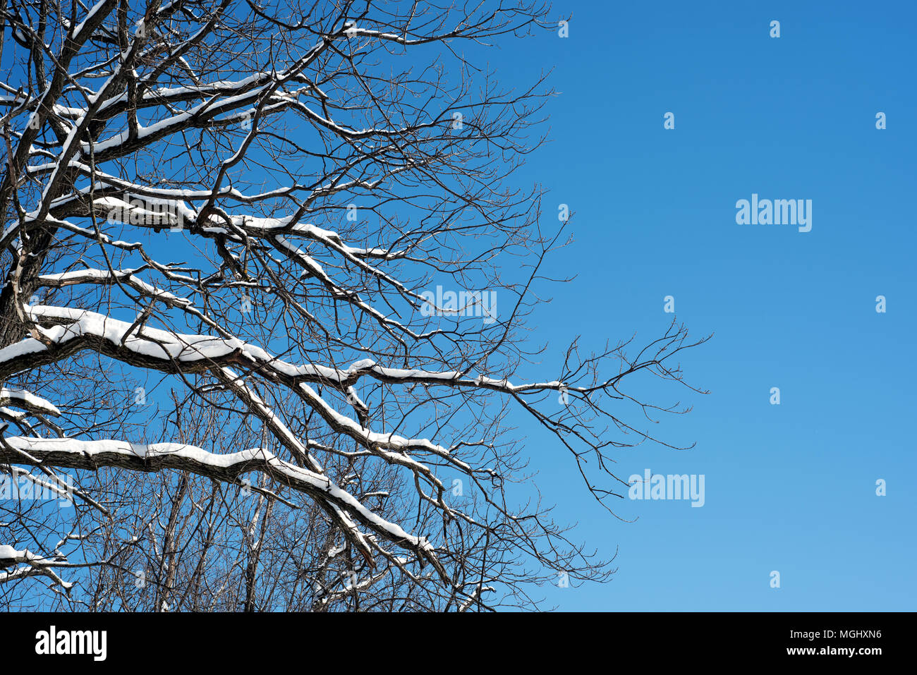 Leafless tree branches covered in fresh winter snow set against a blue sky in natural sunlight. Copyspace for winter woodland and nature themes design Stock Photo