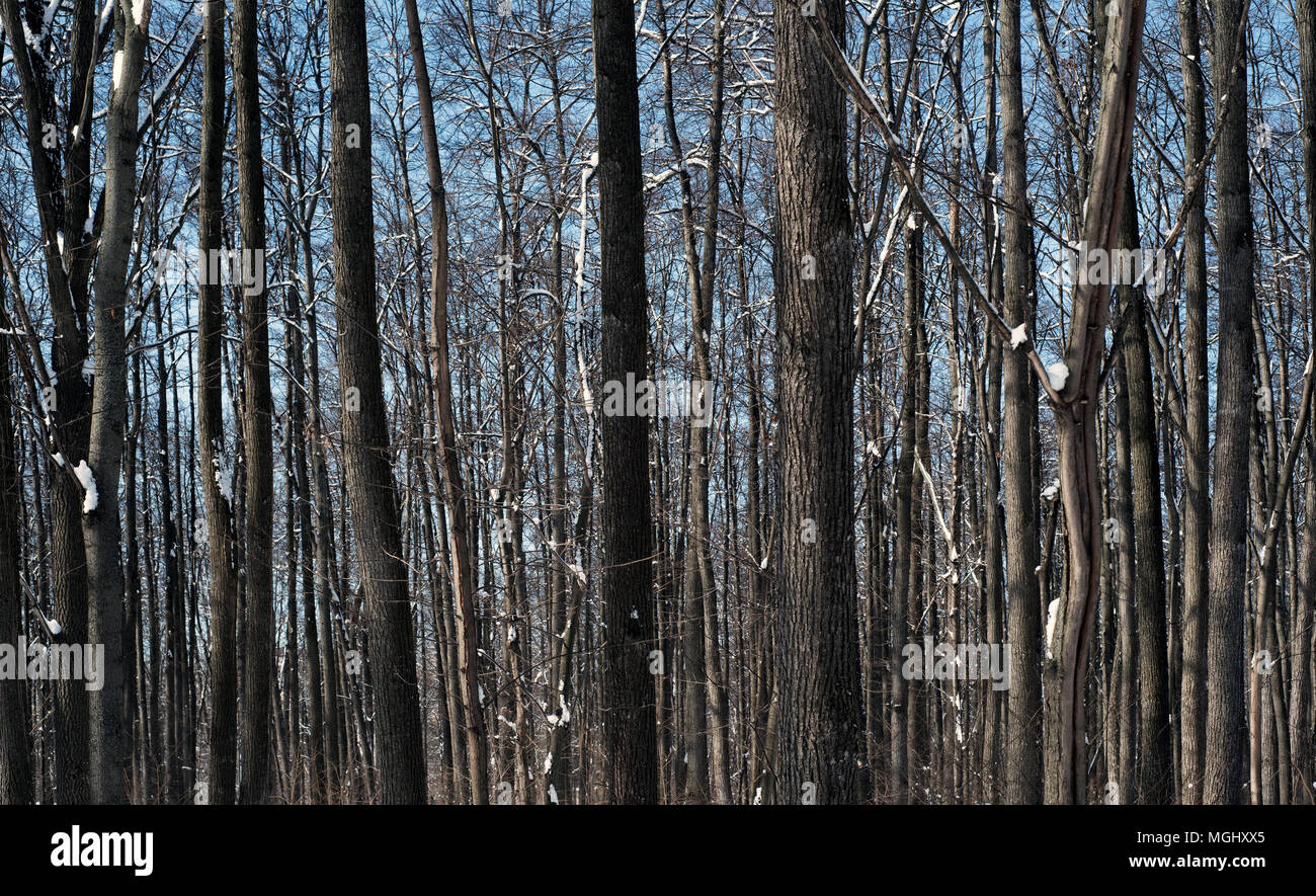 Tree trunks in nature with snow on the ground covering the forest floor and the woodland trees Stock Photo