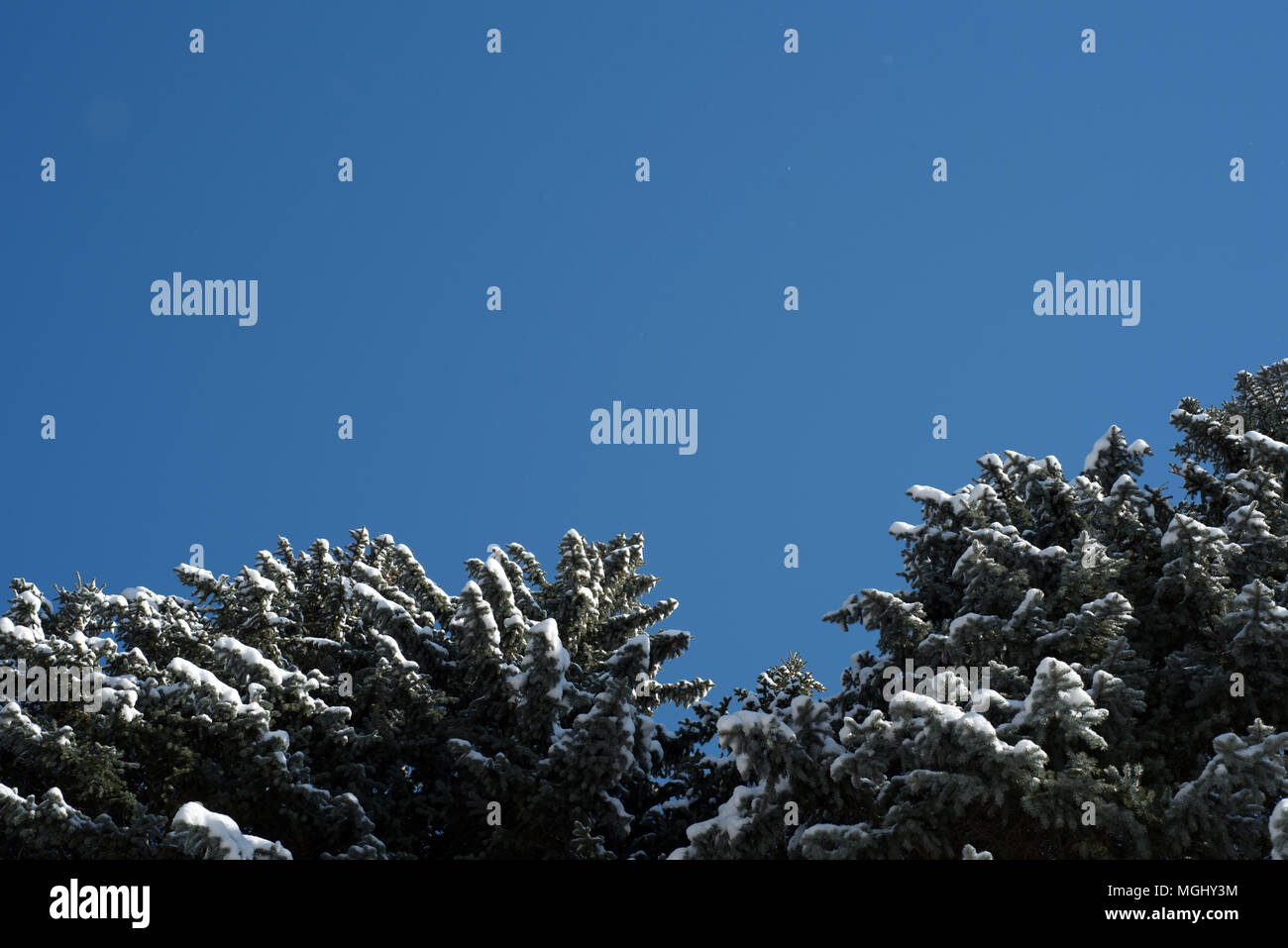 Blue winter sky without clouds and a pine fir tree with a dusting of light wintry snow on the branches of this lush evergreen woodland fauna Stock Photo