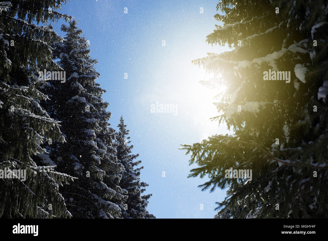Fresh falling snow flakes fall from lush evergreen pine fir trees and are caught in the warm winter golden rays of sunlight in this wintry woodland sc Stock Photo