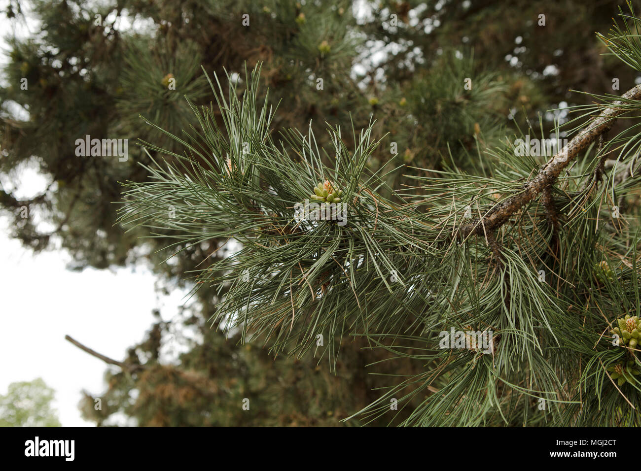 pine twig with little buds - Stock Image