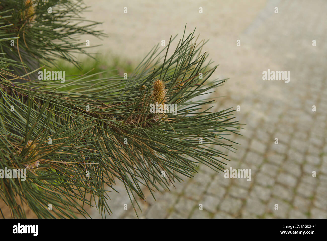 Pine twig in spring time - Stock Image