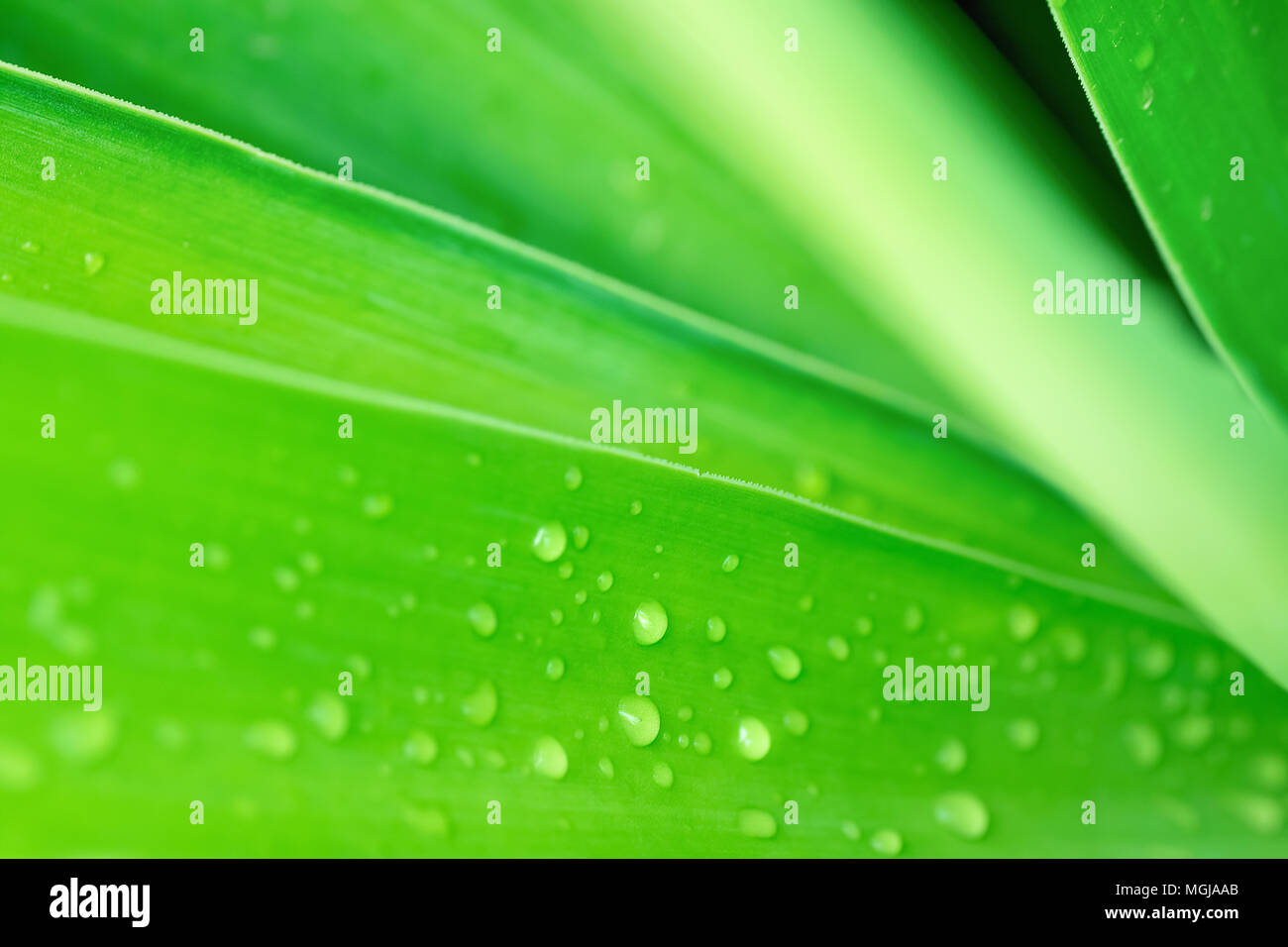 Blurred Abstract Botanical Nature Background. Elegant Large Green Palm Leaf with Rain Drops. Background Wallpaper Poster Template. Organic Cosmetics W