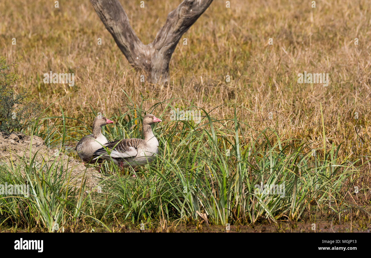 Greylag goose are winter migrants to Indian subcontinent and spend the winters in the region Stock Photo