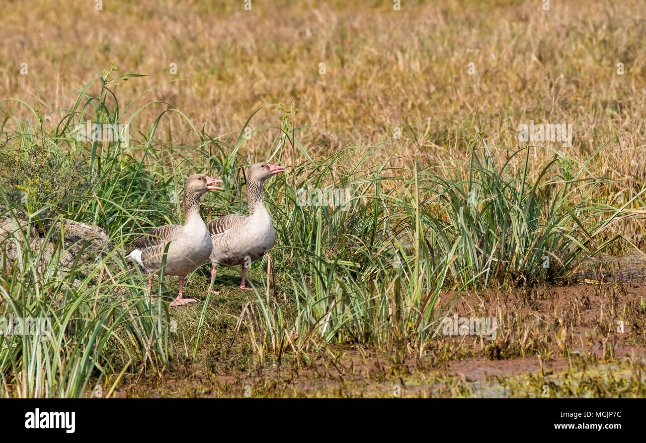 Greylag goose are winter migrants to Indian subcontinent and spend the winters in the region - Stock Image