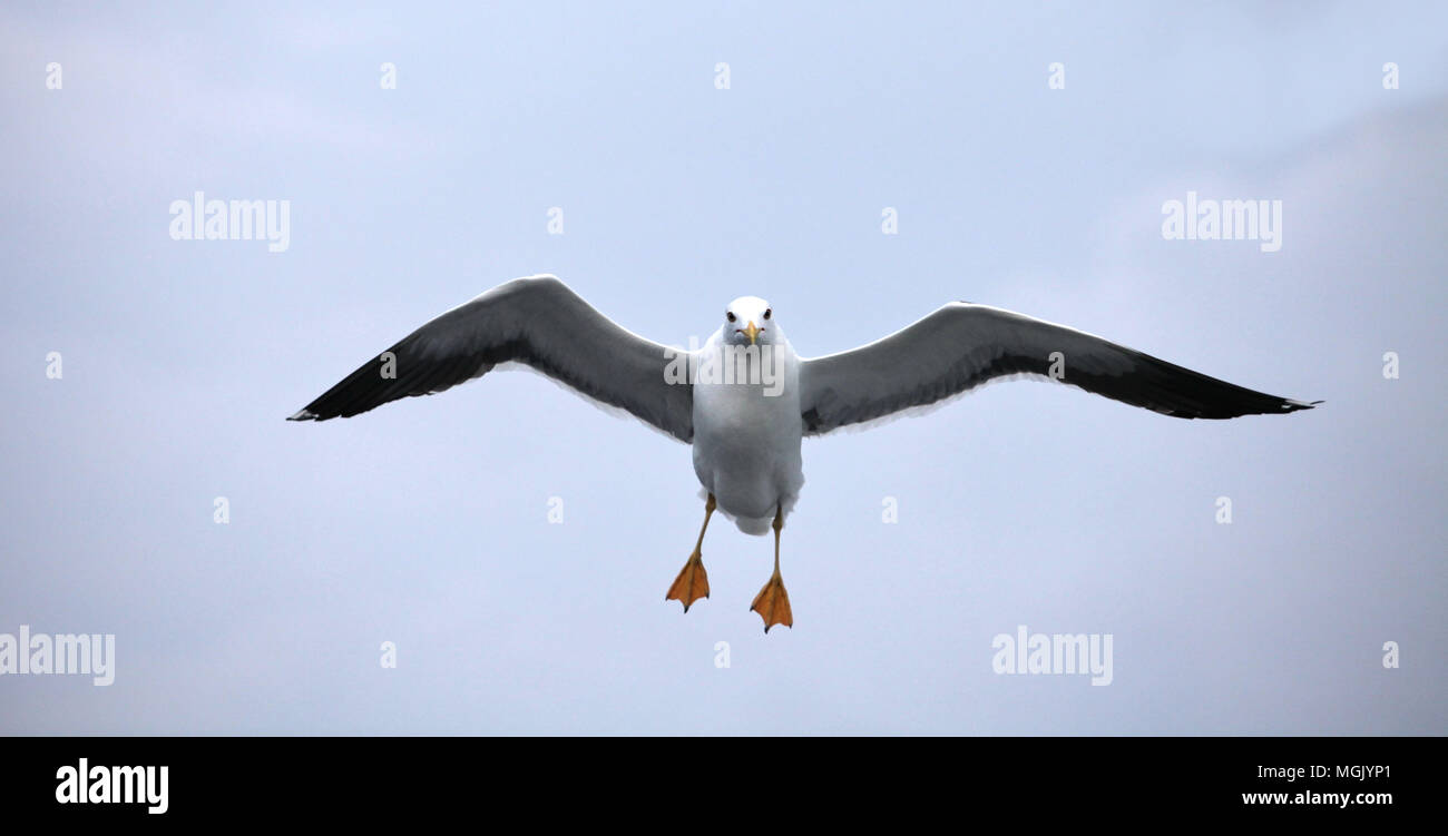 Seagull in flight front view close to stock photo 182355097 alamy seagull in flight front view close to altavistaventures Image collections