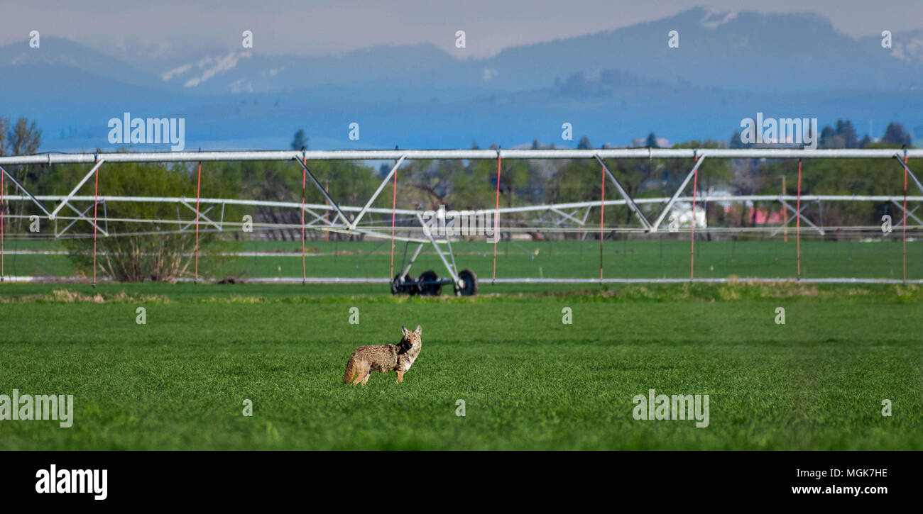 Coyote in a hay field - Stock Image