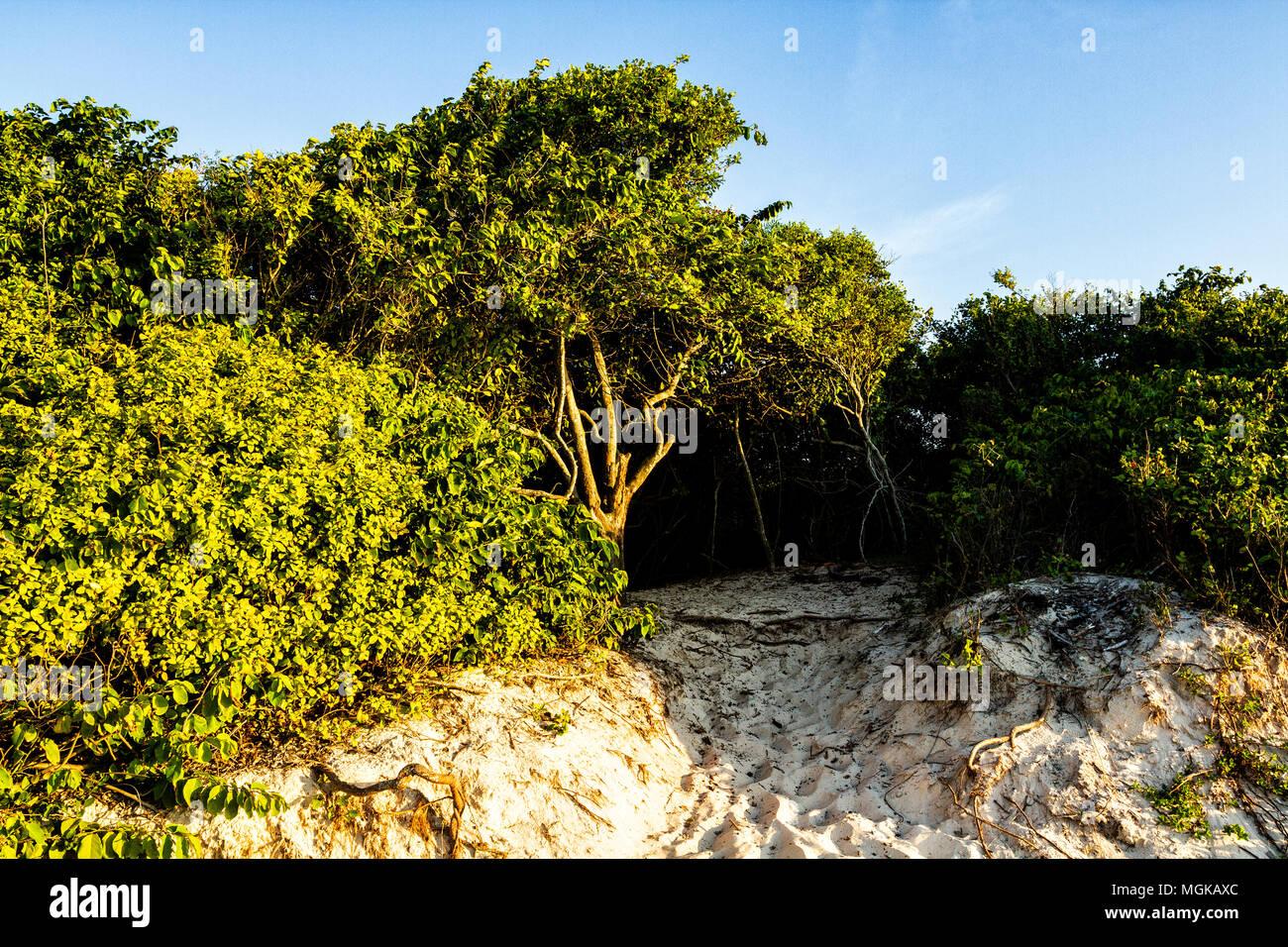 Sandbank vegetation at Daniela Beach. Florianopolis, Santa Catarina, Brazil. - Stock Image