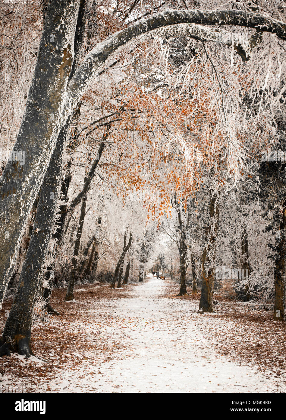 People waling their dod on a winter morning under a canopy of trees frozen with hoar frost - Stock Image